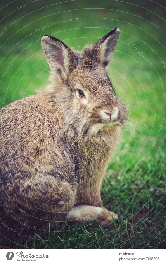 "ingenuous Autumn Grass Garden Meadow Animal Pet Pelt Lion's head Pygmy rabbit Paw Mammal ""Rodents,"" Hare & Rabbit & Bunny Easter Bunny Animal face 1 Hare ears"
