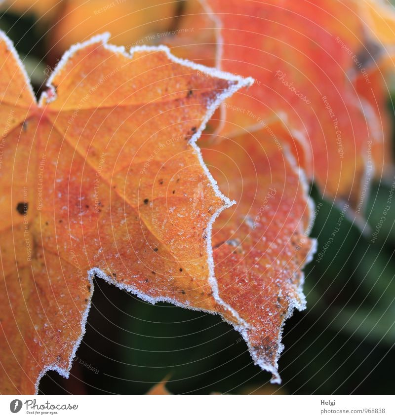 Nature Old Plant Green White Tree Leaf Winter Cold Environment Natural Exceptional Moody Park Ice Orange