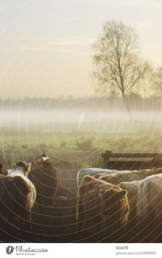 Seven in a pasture Agriculture Forestry Livestock breeding Cattle breeding Landscape Sunlight Autumn Fog Tree Meadow Field Animal Farm animal Cow Cattle farming