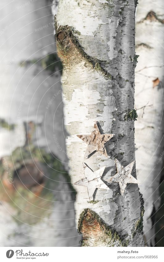 Nature Christmas & Advent Tree Forest Natural Background picture Star (Symbol) Seasons Tree trunk Thin Tree bark Surface Vertical Birch tree Deciduous tree Birch wood