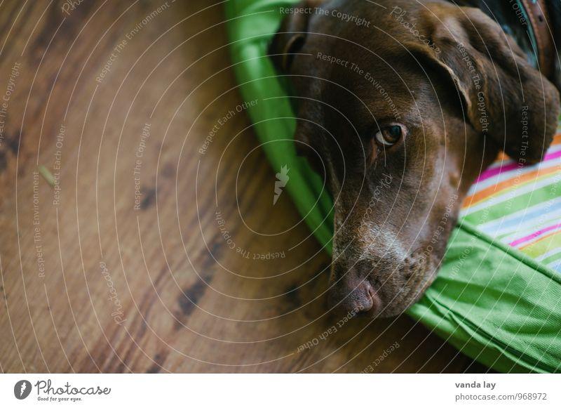 vigilant Animal Pet Dog Animal face German Shorthair Hound Hunter Hunting 1 Safety (feeling of) Loyal Love of animals Watchfulness Colour photo Interior shot