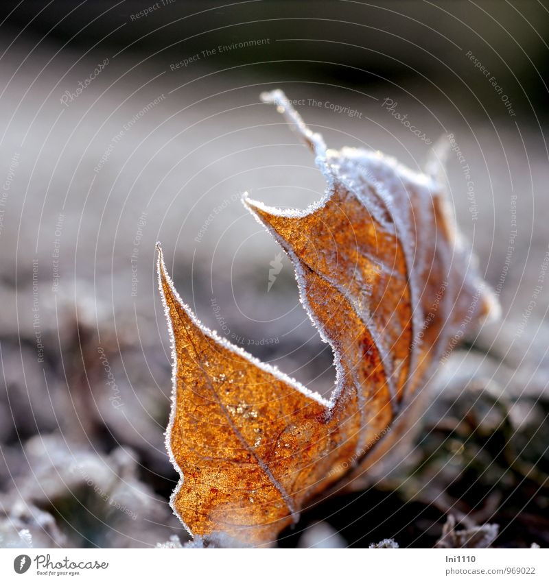 Plant Beautiful White Sun Leaf Winter Cold Environment Yellow Natural Gray Garden Exceptional Brown Glittering Park