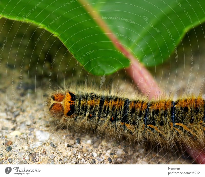 What a nut! -- 2 Grass Eggar Butterfly Animal Plant Yellow Black Painting and drawing (object) Insect Development Crawl Caterpillar stinging hair russet Blue