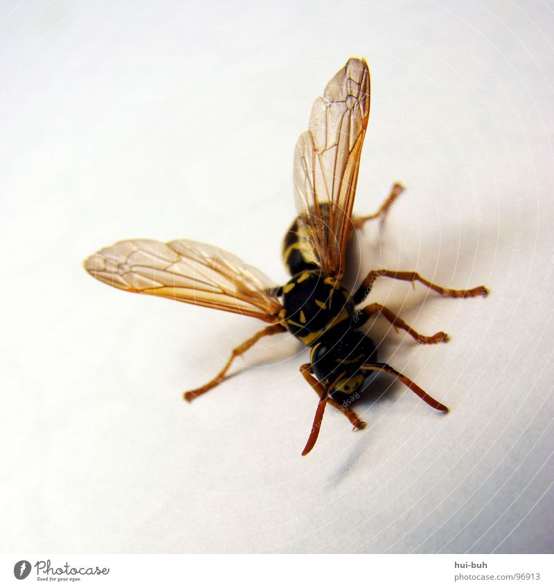 Animal Death Life Legs Feet Flying Stripe Wing Bee Insect Striped Crawl Wasps Zebra crossing Sting