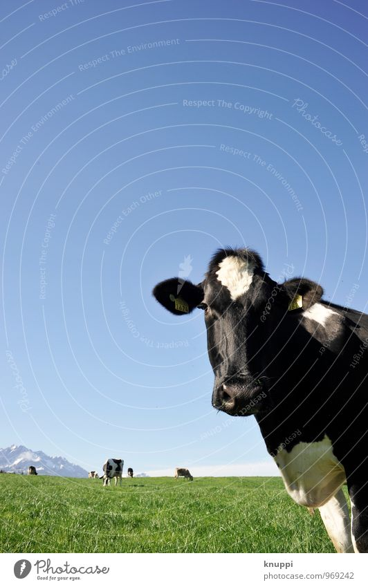 What are you looking at? Nature Air Sky Cloudless sky Sun Sunlight Summer Beautiful weather Warmth Grass Meadow Field Animal Farm animal Cow Animal face Pelt 1