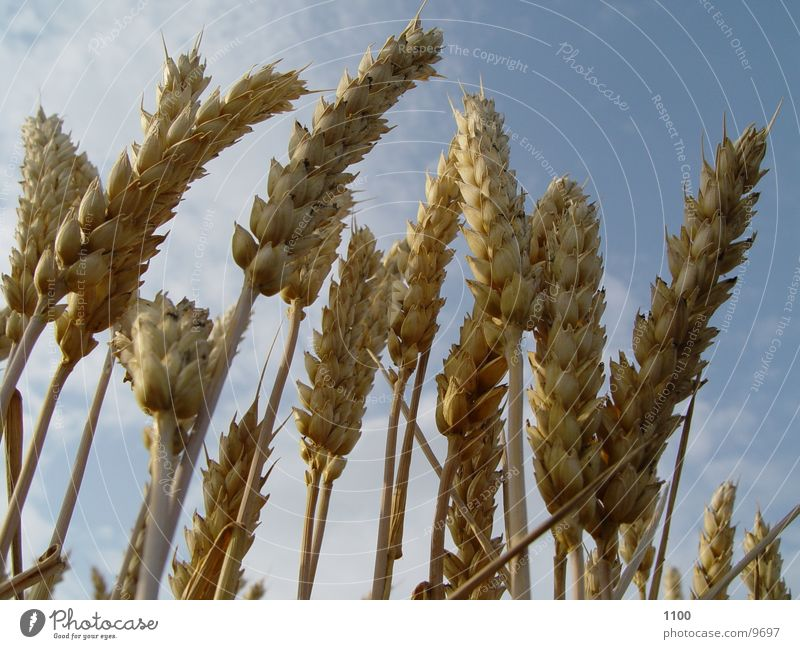 cornfield Cornfield Wheat Field Summer Barley Harvest Blade of grass Nutrition Grain Food