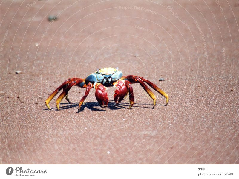 crayfish Animal Seafood Ocean Beach Galapagos islands Vacation & Travel Analog Sandy beach Crustacean South America Shellfish Marine animal Water nimble Bowl
