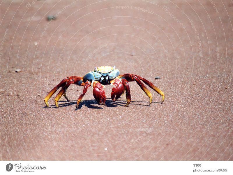 Water Ocean Beach Vacation & Travel Animal Analog Bowl Claw South America Shellfish Sandy beach Seafood Marine animal Crustacean Galapagos islands
