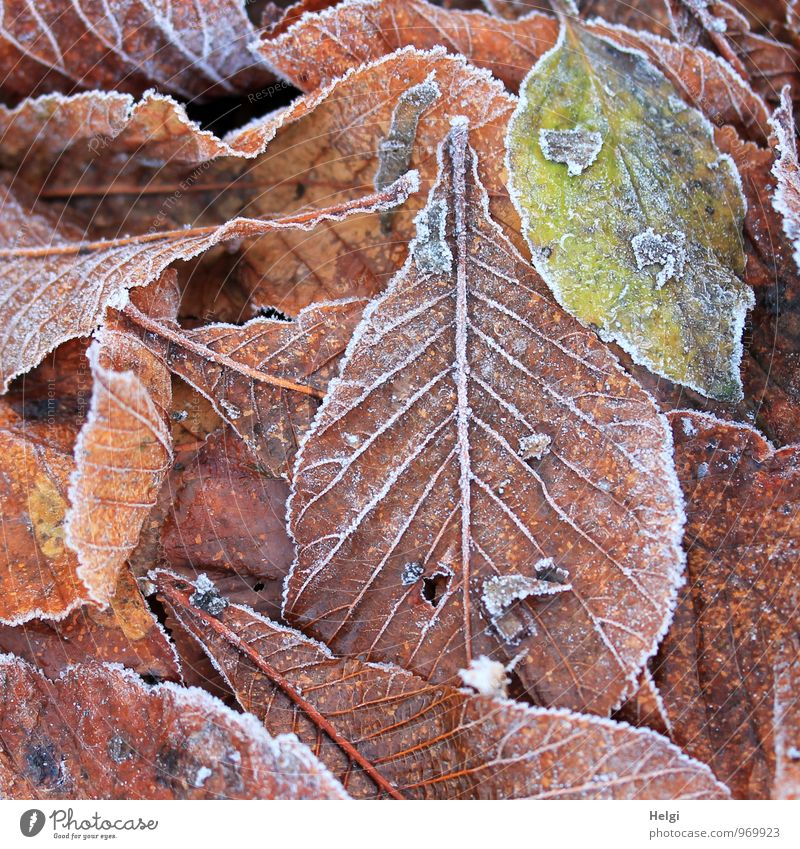chilly... Environment Nature Plant Winter Ice Frost Leaf Beech leaf Park Old Freeze Lie Authentic Exceptional Uniqueness Cold Natural Brown Green White Moody