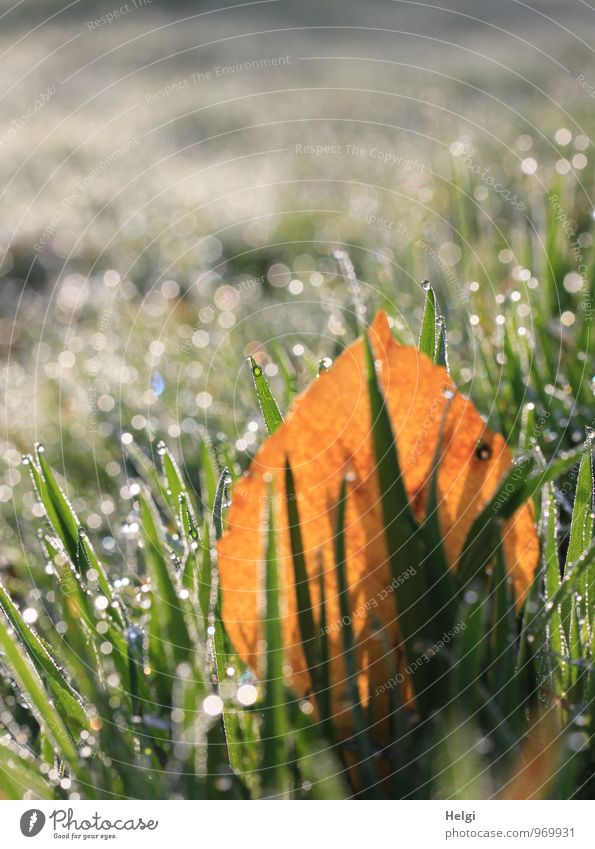 cold and wet... Environment Nature Landscape Plant Drops of water Autumn Beautiful weather Grass Leaf Meadow Glittering Illuminate To dry up Growth Authentic