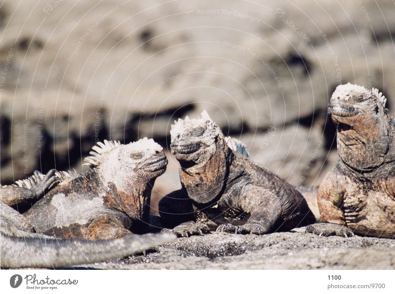 Vacation & Travel Saurians Ecuador Galapagos islands Marine iguana