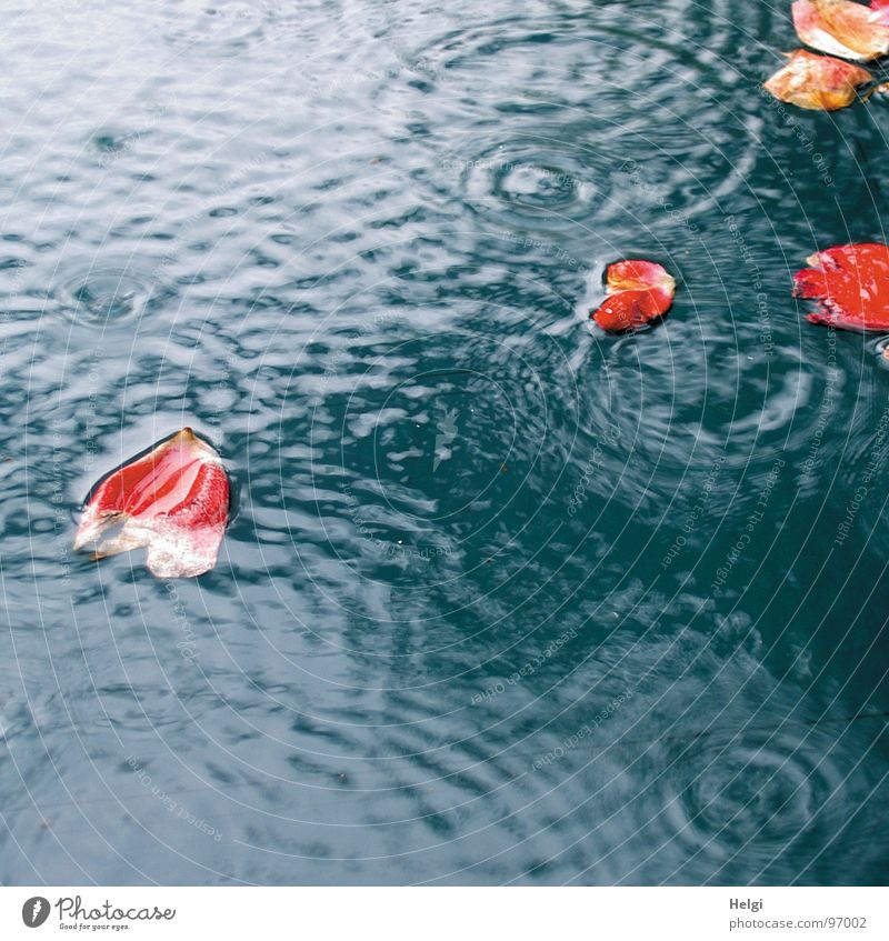 red rose petals swim in a puddle when it rains Wet Flower Blossom Blossom leave Rose Rose leaves Rain Red White To fall Puddle Reflection Circle Transience