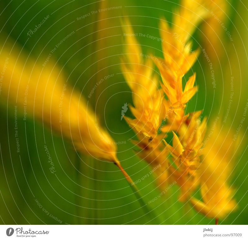 Yellow Gold II Grass Green Stalk Ear of corn Growth Plant Spring Judder Glimmer Meadow Field Pollen panic Lamp Nature Blossoming Fragrance wag Wind Pasture