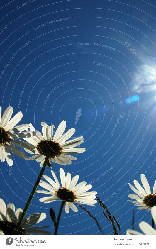 Sky Sun Flower Blue Plant Summer Joy Blossom Spring Garden Bright Growth Sunbathing Beautiful weather Marguerite Herbaceous plants
