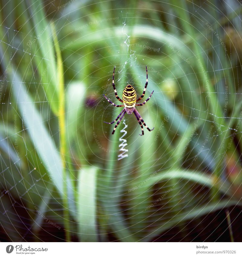 wasp spider Nature Grass Spider Black-and-yellow argiope Spider's web 1 Animal Build Wait Esthetic Disgust Astute Natural Patient Dangerous Planning Survive