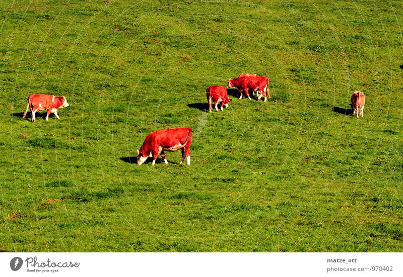 Quad chain in perfection Agriculture Forestry Nature Animal Summer Meadow Hill Alps Farm animal Cow Group of animals Herd Eating To feed Happy Juicy Green Idyll