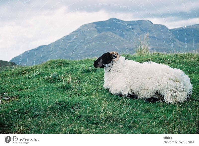 sheep Colour photo Exterior shot Evening Deep depth of field Looking away Calm Mountain Landscape Animal Spring Warmth Grass Meadow Pelt Lie Sleep Sit Gray