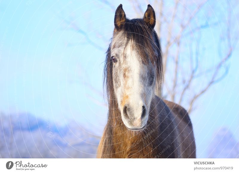Young horse with hoarfrost on the nose Nature Landscape Animal Sky Winter Beautiful weather Park Pet Farm animal Horse 1 Gray (horse) Arabien Thoroughbred