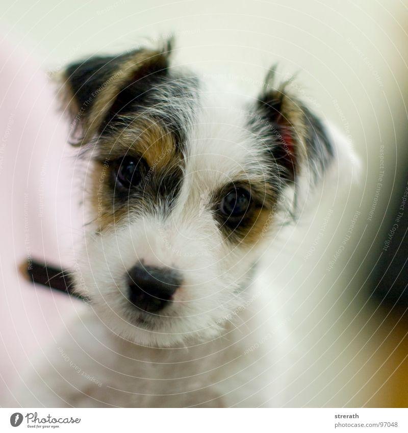 White Beautiful Black Dog Brown Posture Soft Curiosity Trust Brash Patch Mammal Dappled Animal Puppy Cuddly toy