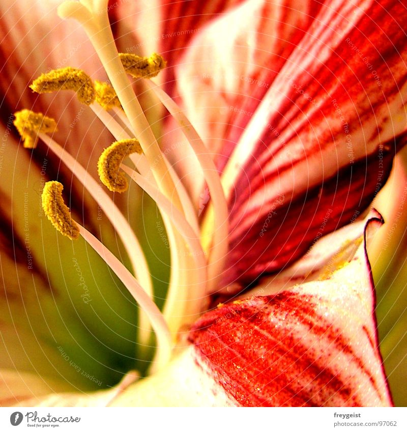 Colourful Amaryllis Flower Plant Detail Macro (Extreme close-up) Close-up Nature