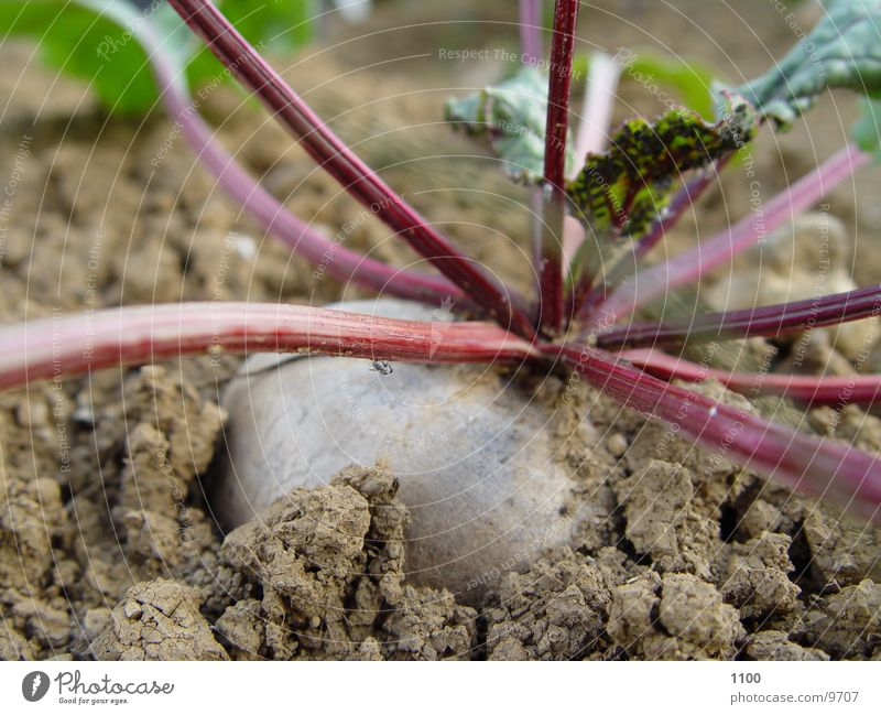 beetroot vegetables Healthy Vegetable Garden Macro (Extreme close-up) Earth Floor covering Horticulture