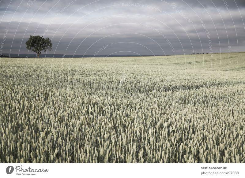 Sky Tree Plant Rain Field Agriculture Grain Thunder and lightning Wheat