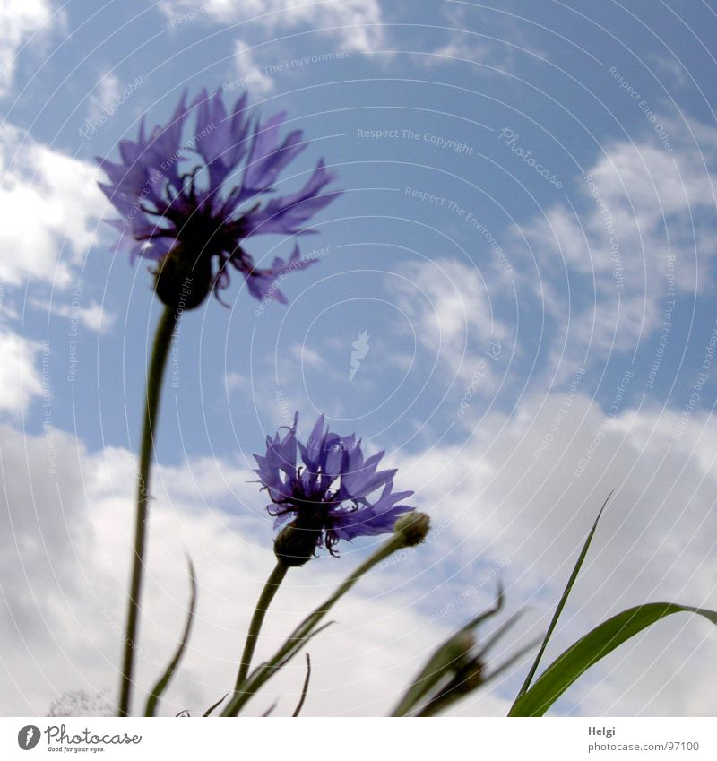 Cornflowers III Flower Blossom Blossom leave Stalk Blade of grass Green Clouds White Summer July Blossoming Towering Field Roadside Summery Delicate Blue Sky
