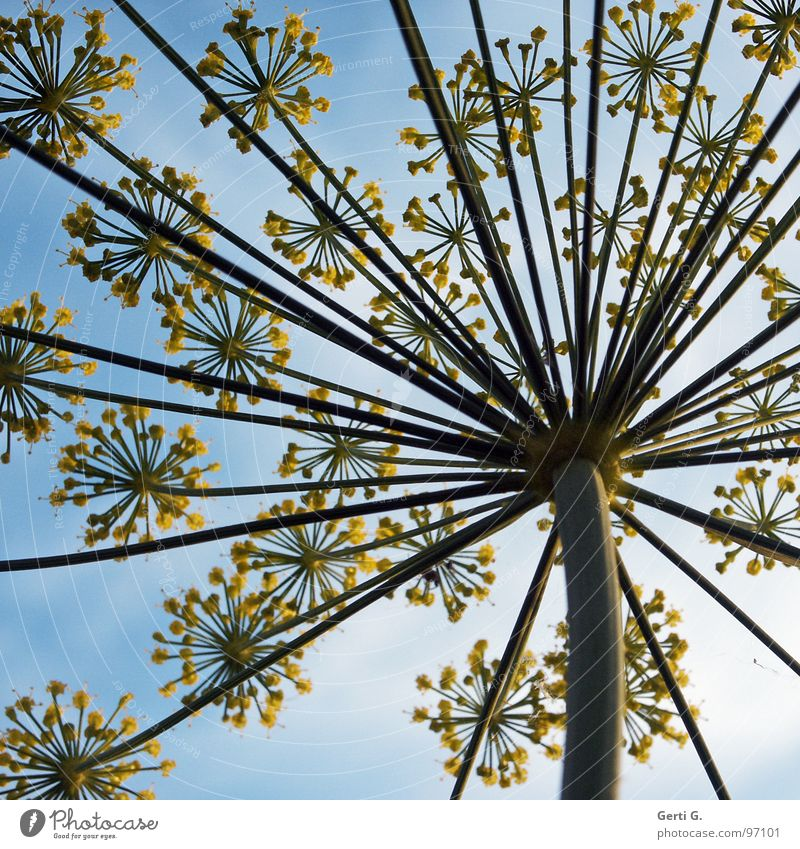 umbles Sky blue Umbellifer Apiaceae Blossom Flower Plant Yellow Stalk Worm's-eye view Clouds Dill Umbrella Blue Nature Perspective Spokes Bird's-eye view