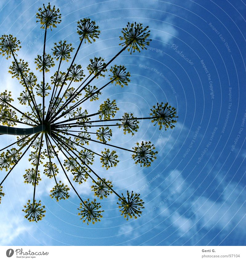 umbles ² Sky blue Umbellifer Apiaceae Blossom Flower Plant Yellow Stalk Worm's-eye view Clouds Dill Umbrella Blue bright blue Nature Perspective Spokes