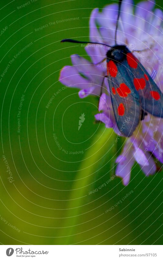 Butterfly red-blue Six-spot Burnet Insect Stalk Flower Plant Wing Flying Blossoming Moth