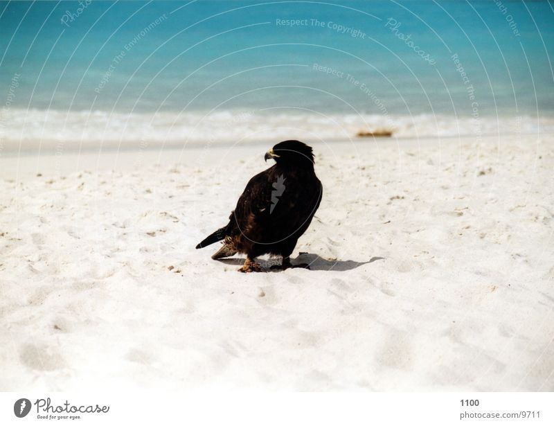 Water Ocean Beach Vacation & Travel Animal Sand Bird Bird of prey Hawk Galapagos islands
