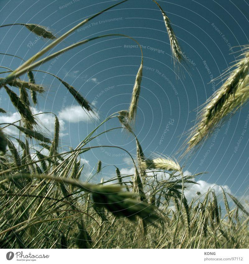Sky Summer Landscape Field Growth Agriculture Harvest Blade of grass Grain Muddled Ear of corn Barley Vegetarian diet
