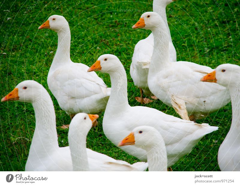 curious the geese Meadow Farm animal Goose Pack Observe Authentic naturally Curiosity Cliche Trust Together Expectation Keeping of animals Livestock breeding