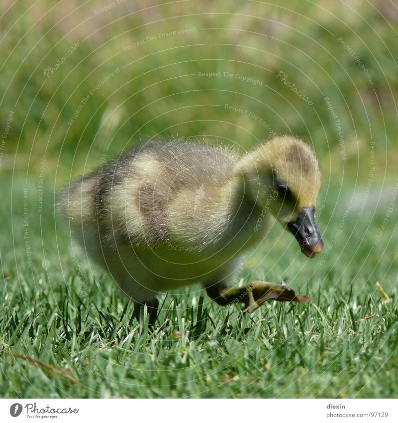 step by step Environment Nature Animal Grass Meadow Wild animal Bird Wing 1 Baby animal Cuddly Cute Soft Innocent Chick Goose Gray lag goose Wild goose