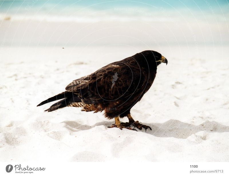 buzzard Hawk Bird of prey Animal Ocean Beach Vacation & Travel Galapagos islands Water Sand Be confident