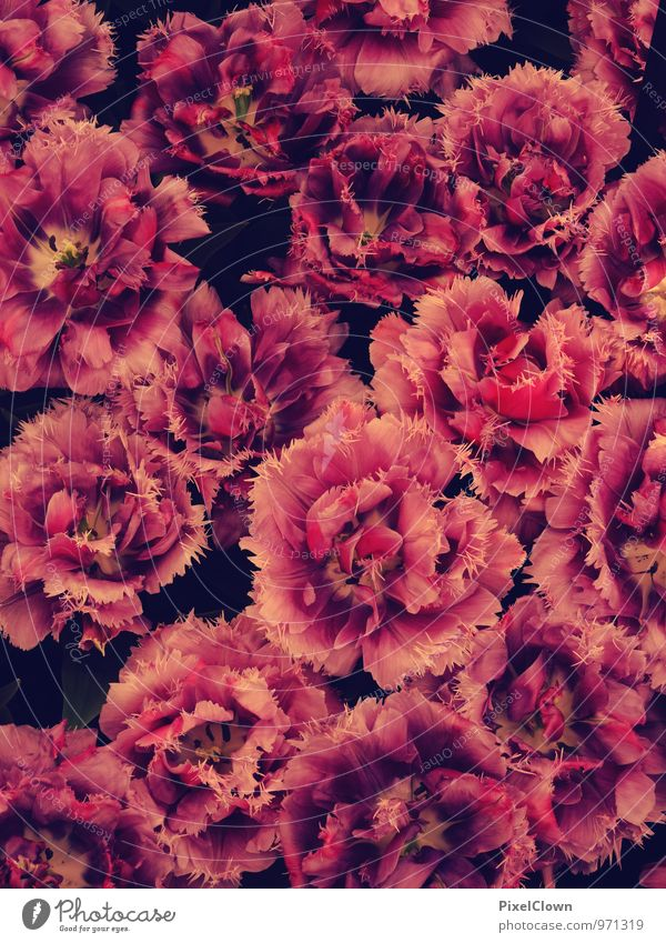 Plant Beautiful Red Flower Eroticism Emotions Love Blossom Style Friendship Lifestyle Orange Elegant Esthetic Blossoming Agriculture