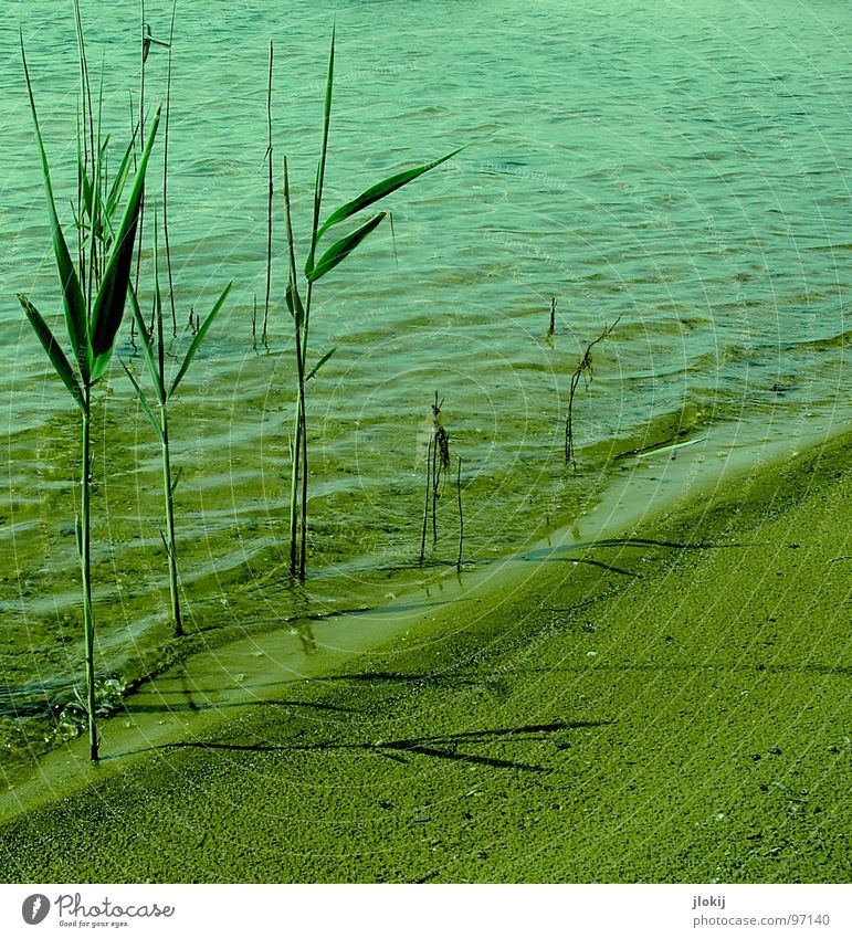 OTHERWORLDLY PHENOMENA Common Reed Aquatic plant Plant Lake Beach Wet Damp Growth Sprout Flourish Green Waves Summer Physics Lake Baggersee Surf White crest