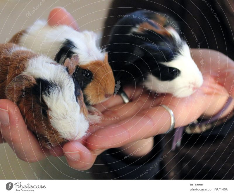 RENEWS Hand Fingers Pet Zoo Petting zoo Guinea pig Rodent 3 Animal Group of animals Baby animal Animal family Sit Authentic Cuddly Small Soft Brown Black White