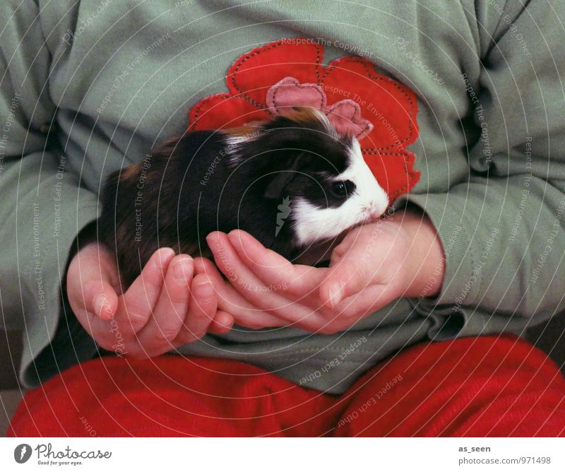 The black and white Child Infancy Life Pelt Animal Pet Guinea pig Rodent 1 Baby animal Authentic Cuddly Warmth Soft Red Black White Joie de vivre (Vitality)