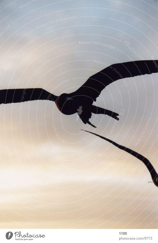 frigate bird Ocean Sunset Animal Lust Sky Evening Flying