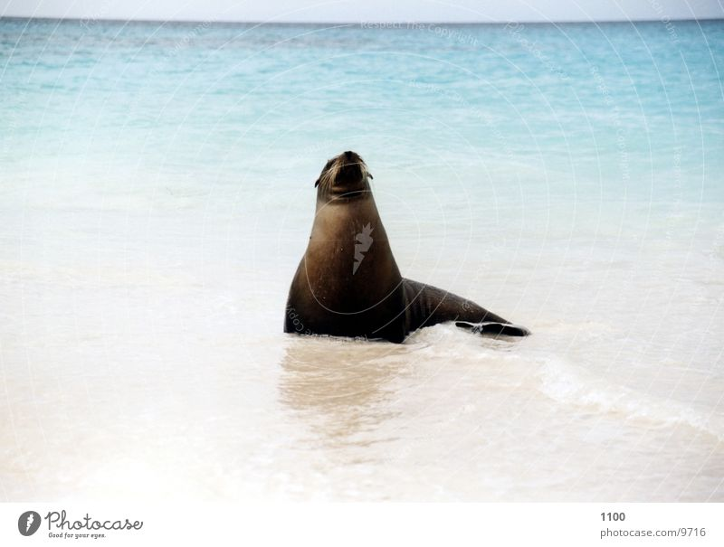 seal Animal Ocean Beach Vacation & Travel Galapagos islands sealhound Island Looking Water Sand Be confident