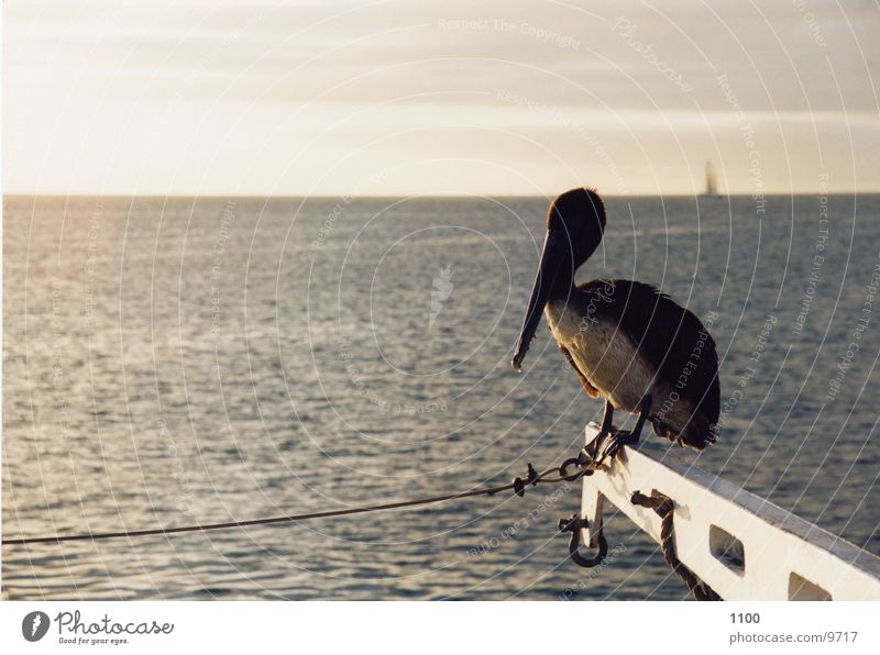 pelican Pelican Ocean Watercraft Horizon bird Sit