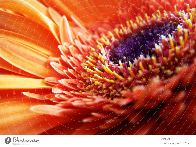 like the sun Gerbera Blossom Blossom leave Brilliant Delicate Flower Plant Flowering plant Red Summer Summery Physics Fresh Violet Jump Spring Dinghy Blaze