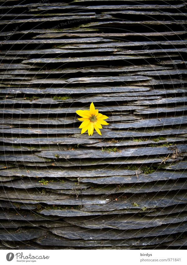 Nature Flower Yellow Blossom Gray Happy Stone Exceptional Illuminate Blossoming Level Fragrance Central Slate