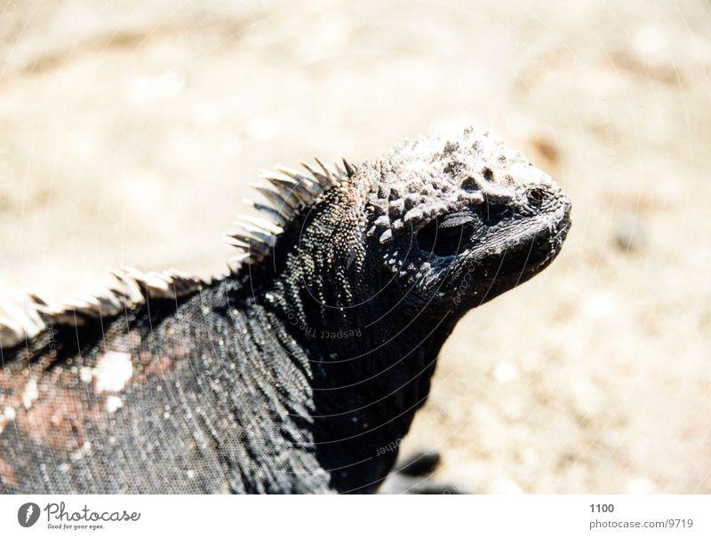 sea lizard Marine iguana Saurians Iguana Galapagos islands Primitive times Looking