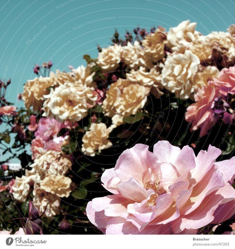 Rosenkavalier (Richard Strauss) Fragrance Concert Opera Flower Blossom Bouquet Yellow Pink Gentleman Nobleman Conspiracy Nutrional supplement cavalier of roses