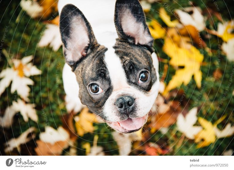 Cardhu Pt. 2 Nature Grass Leaf Autumn leaves Meadow Pet Dog Animal face Pelt Ear 1 Observe Laughter Illuminate Small Soft Brown Yellow Green White Bulldog