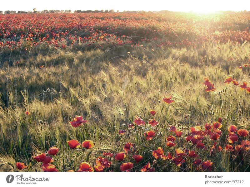 Sun Flower Autumn Sadness Field Concert Large Horizon Romance Peace Longing Poppy Lose Summer's day Fiber Piano concert