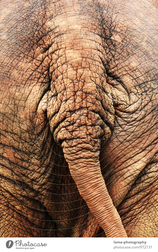 ass. Thailand Asia Animal Elephant Elephant skin Hind quarters Tails Old Brown Wrinkle Wrinkles Colour photo Rear view