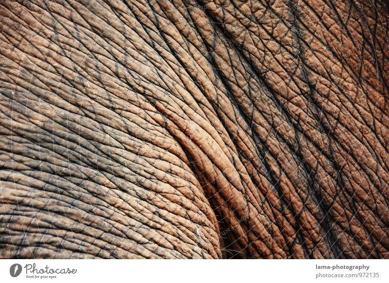 wrinkled. Thailand Asia Animal Elephant Elephant skin Old Gray Wrinkles Hide Rough Colour photo